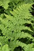 Dryopteris crispa Whiteside 1