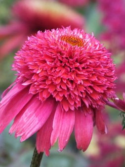 Echinacea Double Scoop Raspberry