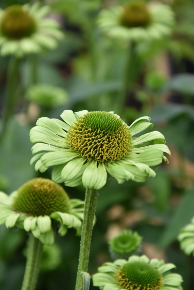 Echinacea Green Jewel (2)