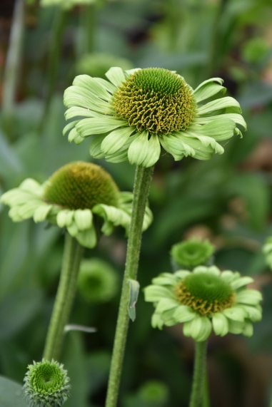 Echinacea Green Jewel 2