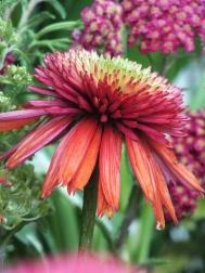 Echinacea Orangeberry