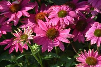 Echinacea powwow Wildberry