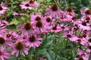 Echinacea purpurea Elbrook