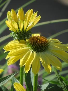 Echinacea Sandy Yellow 2