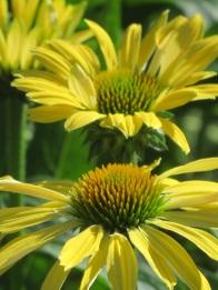 Echinacea Sandy Yellow