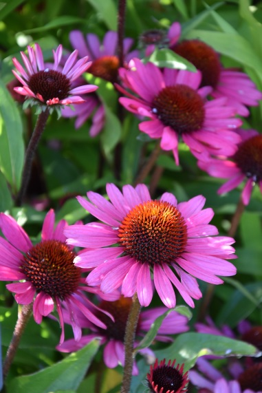 Echinacea Summer Cloud