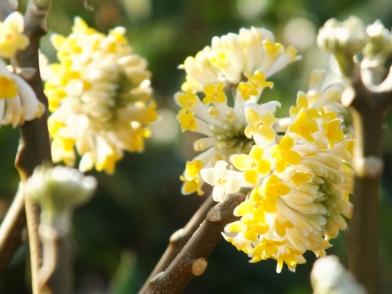 Edgeworthia chrysantha 11
