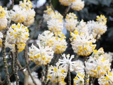 Edgeworthia chrysanthas 12