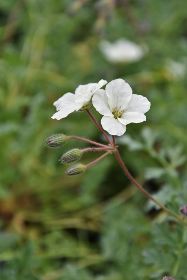 Erodium chrysanthemum