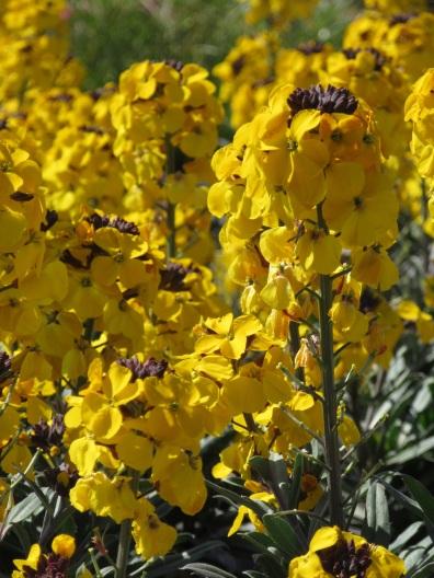 Erysimum Walbertons Fragrant Sunshine