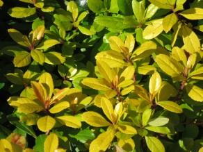 Escallonia laevis Gold Ellen (2)