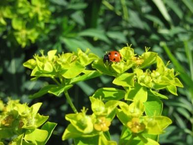 Euphorbia nereidum