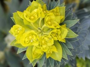 Euphorbia rigida (2)