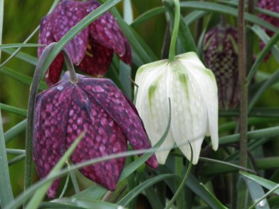 Fritillaria meleagris purple white