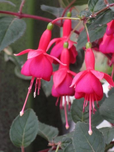 Fuchsia Monsieur Thibaut
