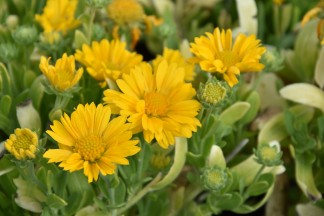 Gaillardia Gallo Yellow 1