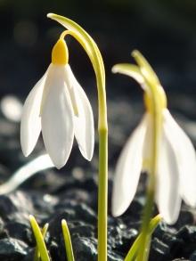 Galanthus nivalis Sandersii 1