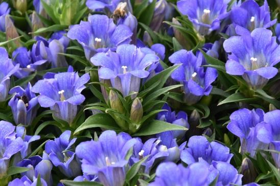 Gentian Blue Eternity (2)