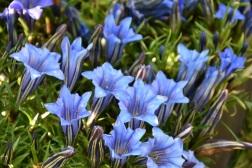 Gentiana Blue Heaven