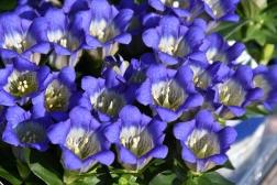 Gentiana scabra Blue Mountain