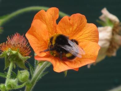 Geum Bee