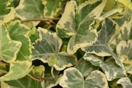 Hedera Golden Kalibri Ivy