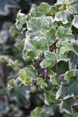 Hedera helix Clotted Cream
