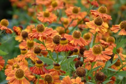 Helenium Riverton Gem 1
