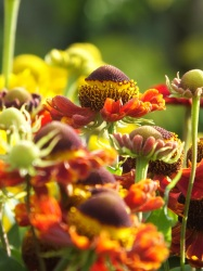 Helenium Ruby Tuesday 1 (2)