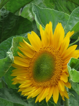 Helianthus annuus Sunrich Gold 1