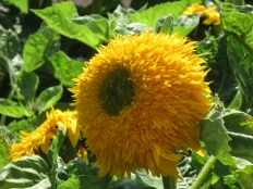 Helianthus annuus Superted