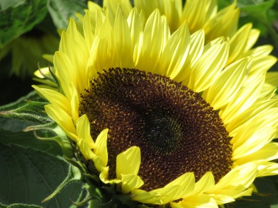 Helianthus Sunrich Limoncello Summer