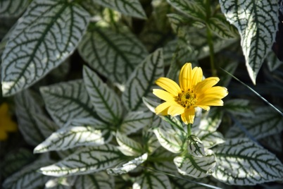 Heliopsis Loraine Sunshine (2)
