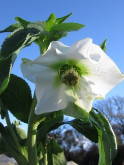 Hellebore Harvington White