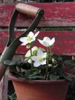 Helleborus niger 11