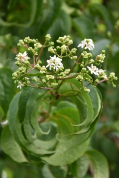 Heptacodium micinioides