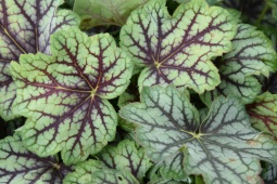 Heuchera Green Spice 2