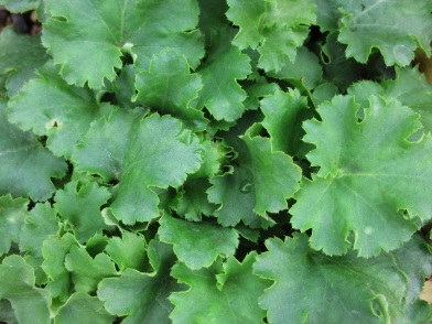 Heuchera Malachite