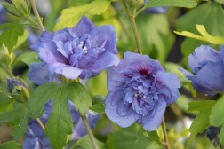 Hibiscus syriacus Blue Chiffon 1