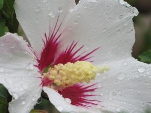 Hibiscus syricacus Shintaeyang