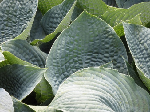 Hosta Blue Umbrellas 1