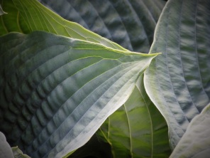 Hosta Blue Umbrellas