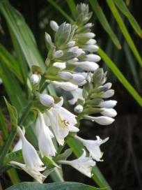 Hosta sieboldii var elegans flower