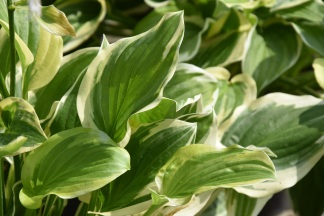Hosta So Sweet 3