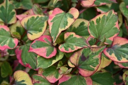 Houttuynia cordata variegata 1