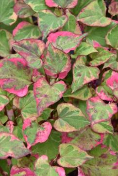 Houttuynia cordata variegata