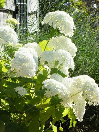 Hydrangea arborescens Annabelle (2)