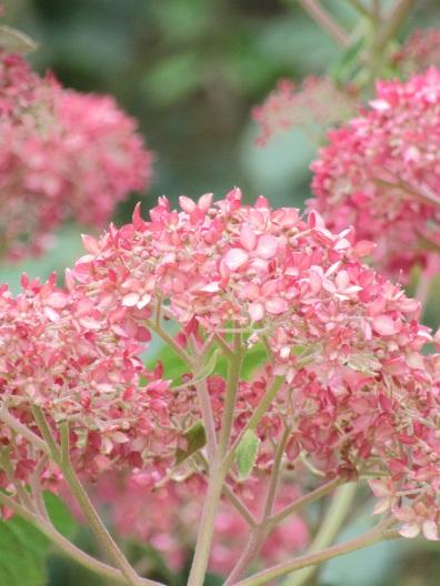Hydrangea arborescens Pink Annabelle (2)