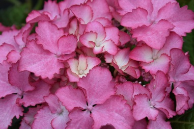 Hydrangea French Can Can