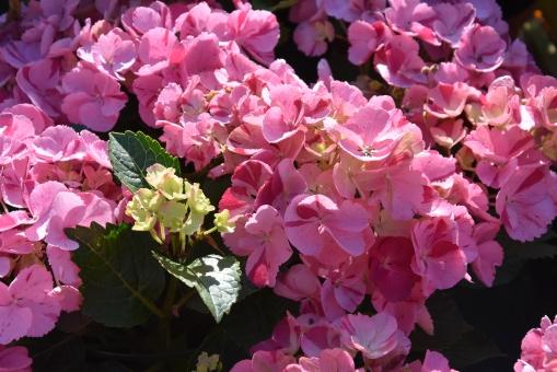 Hydrangea hovaria Sweet Fantasy